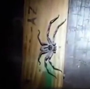 ENORMOUS huntsman spider lurking in dark corner as 100 newborn babies hatch from eggs