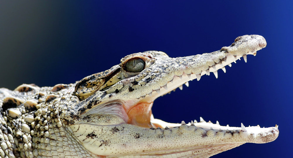 A young Cuban crocodile opens its jaws in a quarantined enclosure at the National Zoo in Havana, Cuba, Wednesday, May 27, 2015