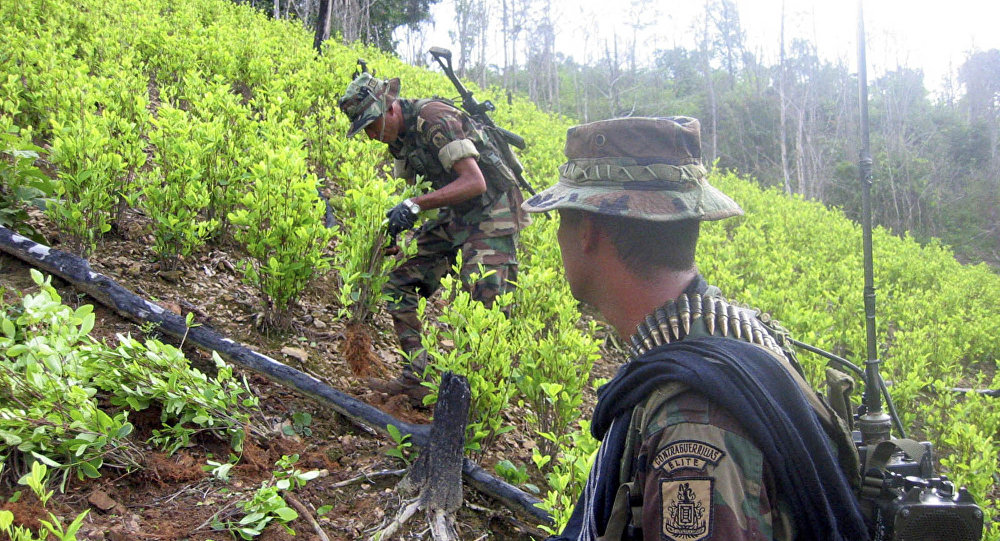 Soldiers destroy coca plants at a 20 hectar plantation found by the army in Sardinata, near Colombia's northeastern border with Venezuela (File)